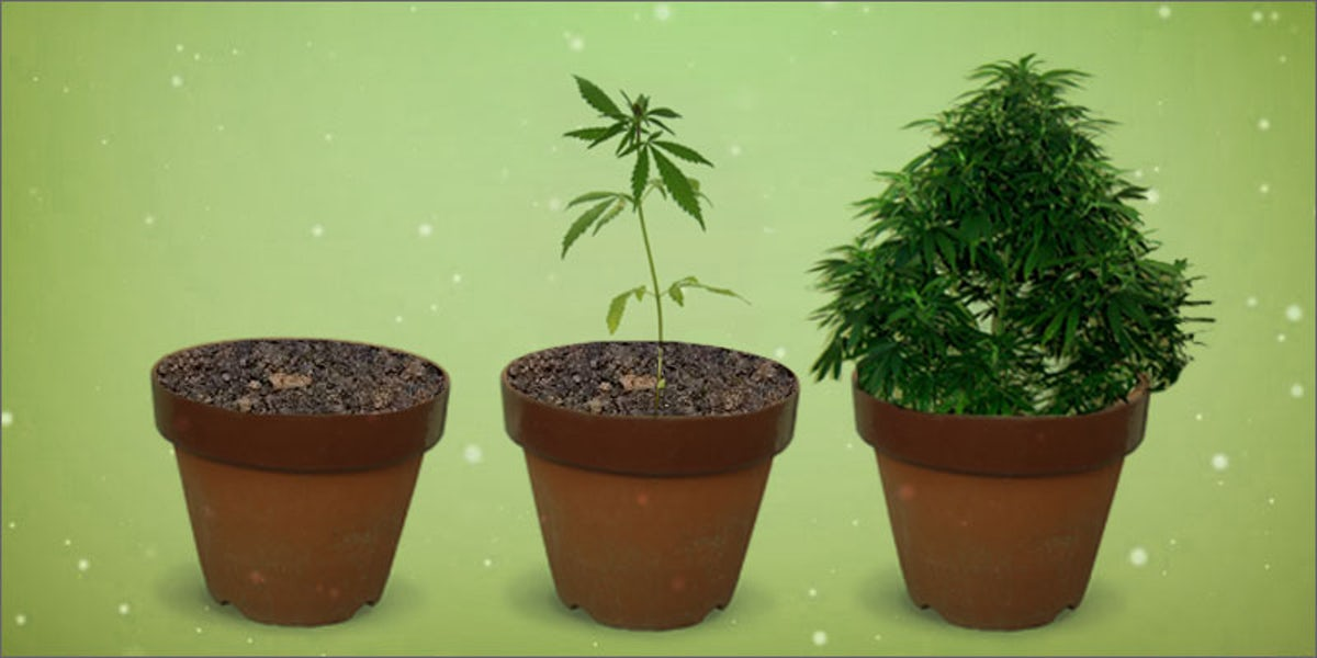 The 7 Easy Steps of Growing Cannabis